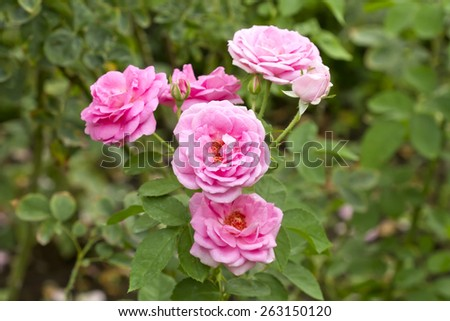 Pink Rose on the Branch in the Garden - stock photo