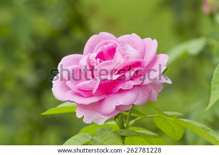 Pink Rose on the Branch in the Garden, soft focus - stock photo