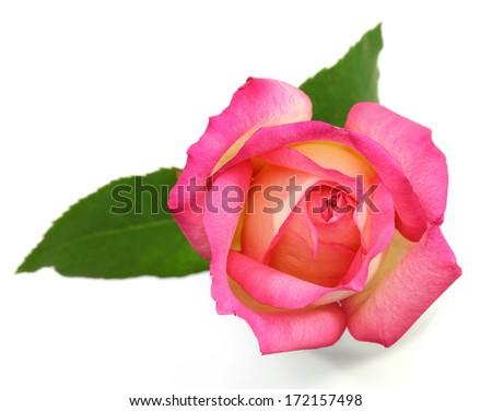 Pink rose on white background  - stock photo