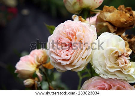 Pink rose Pastella. Wilt rose symbol of passing time. - stock photo