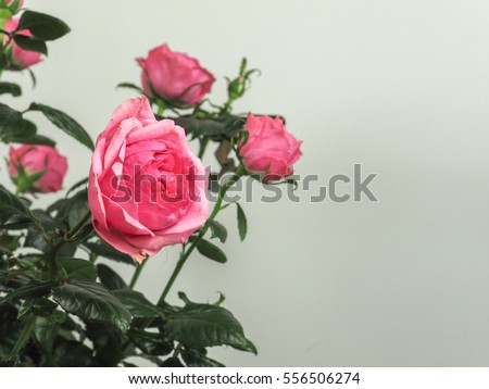 Pink Rose perennial shrub (genus Rosa) flower with copy space