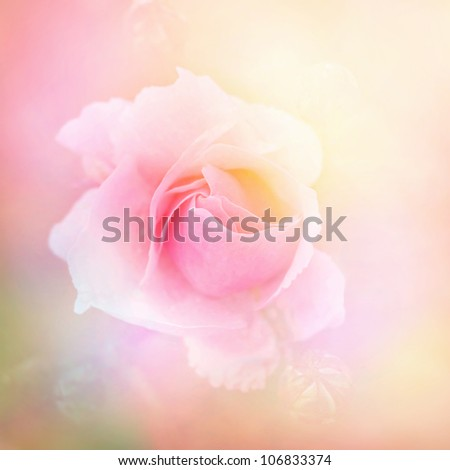 Pink rose romantic background - stock photo
