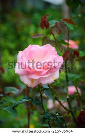 pink rose trees - stock photo