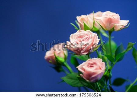 Pink rose with blue blurry background - stock photo