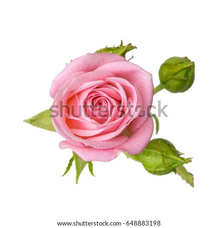 Pink rose with buds isolated on white background.