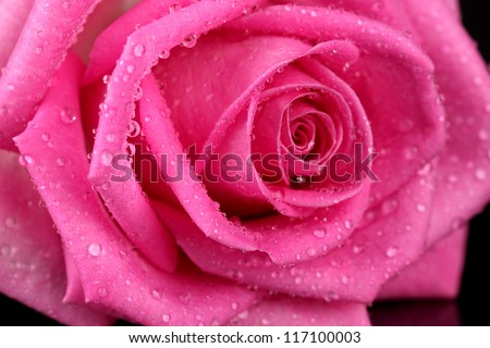 Pink rose with drops isolated on black