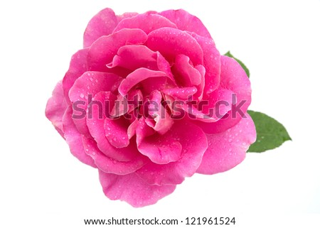 Pink rose with water droplets on white - stock photo
