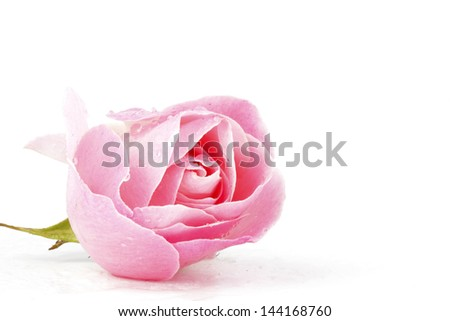 Pink rose with water drops - stock photo