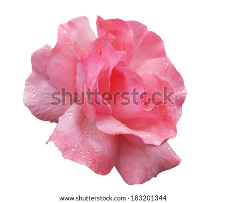 Pink rose with water drops on the petals isolated - stock photo
