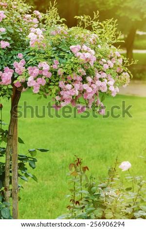 Pink Rosebush In The Roses Garden - stock photo