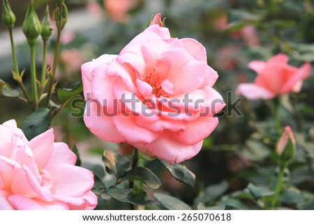 Pink roses and buds,beautiful roses blooming in the garden in spring - stock photo