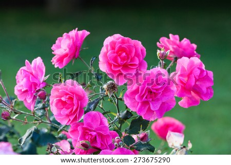 Pink roses and dew drops - stock photo