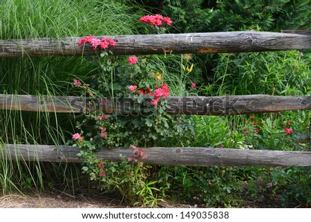 Pink roses and wooden fence - stock photo