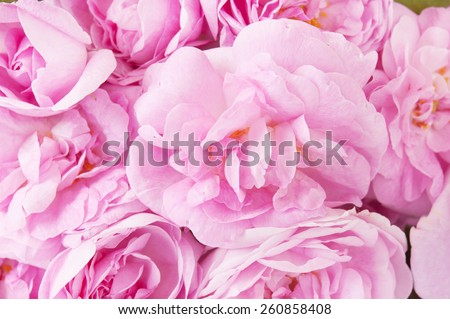 Pink roses background - stock photo