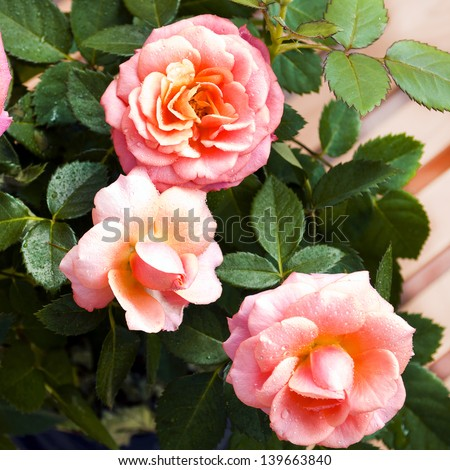 Pink roses. Blooming shrub roses in a pot - stock photo