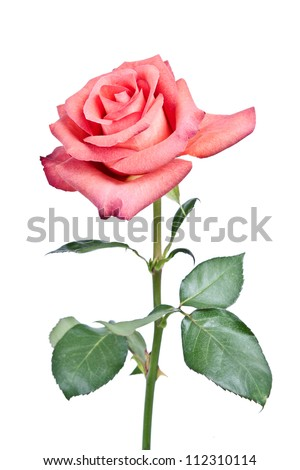Pink roses bouquet isolated on white background - stock photo