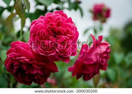 Pink roses bunch color
