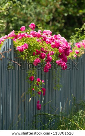 Pink roses climbing on the wooden fence - stock photo
