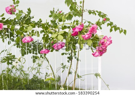 Pink roses climbing on white fence - stock photo