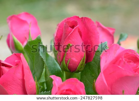 Pink roses close up - stock photo