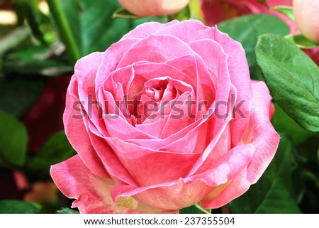 Pink roses,closeup of pink roses in the garden - stock photo