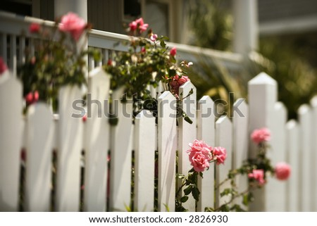 Pink roses growing over white picket fence. - stock photo
