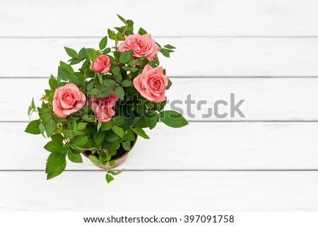 Pink roses in a flowerpot on white wooden background. Top view, copy space. Space for text, copy, lettering. Postcard template.