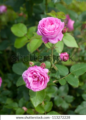 pink roses in garden - stock photo