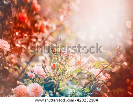 Pink roses in garden or park in dawn light. Flowers garden nature background - stock photo