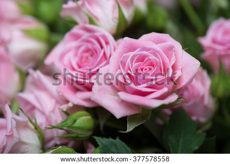 Pink roses in the garden - stock photo