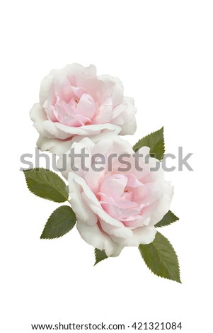 Pink roses isolated - stock photo