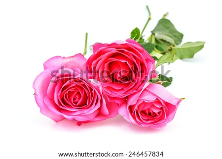 Pink roses isolated on white background. - stock photo