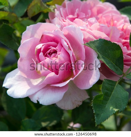 Pink Roses on a bush in a garden - stock photo