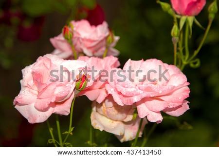 pink roses ,spring flowers,flowers garden,green,beautiful roses,roses garden,roses outside,garden flowers,wonderful roses,amazing nature,natural flowers,natural roses,pink petals,floral,lovely flowers - stock photo
