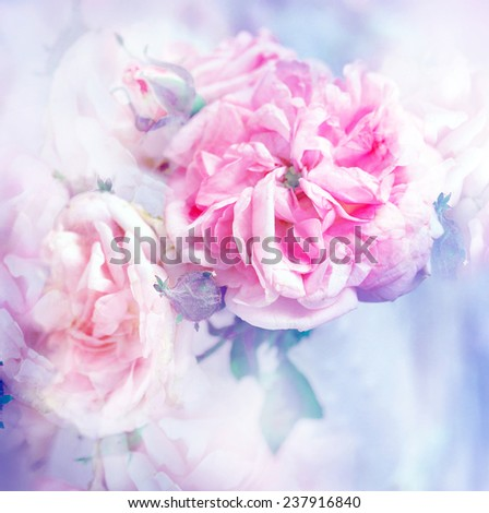pink roses, sweet soft color background/ beautiful flowers made with color filters - stock photo