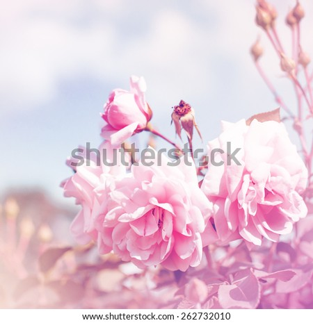 pink roses, sweet soft color background/ beautiful flowers made with color filters
