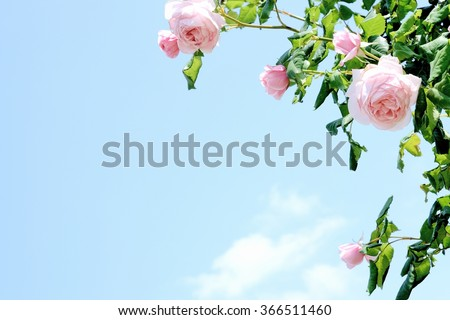 pink roses under blue sky  - stock photo