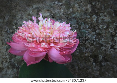 Pink Sacred Lotus (Nelumbo nucifera) blossom and leaves in lake