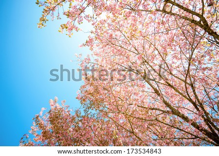 Pink sakura blooming in the sunshine and blue sky,Chiang mai ,Thailand