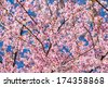 Pink sakura blossom flowers close-up - stock photo