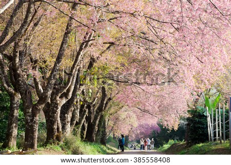 Pink sakura blossom in the northern province of Thailand