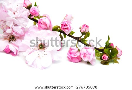 Pink sakura blossom on a white background - stock photo