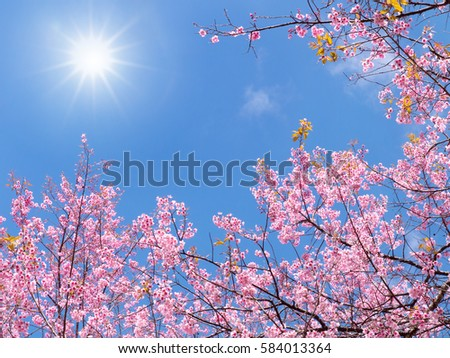 Pink Sakura Cherry Flower Blossom against blue sky  with sun in  good weather