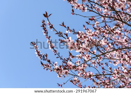 Pink Sakura Cherry Tree Flowers In Spring