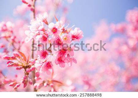 Pink Sakura flower blooming. - stock photo