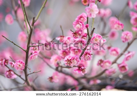 Pink Sakura flower blooming. - stock photo
