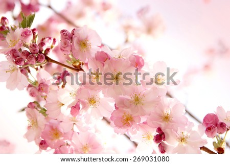 pink sakura flowers in the park - stock photo