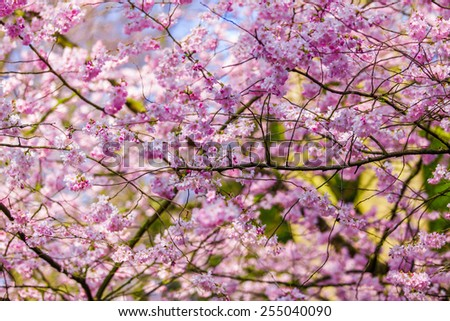 Pink sakura flowers,Sakura flowers blooming. - stock photo