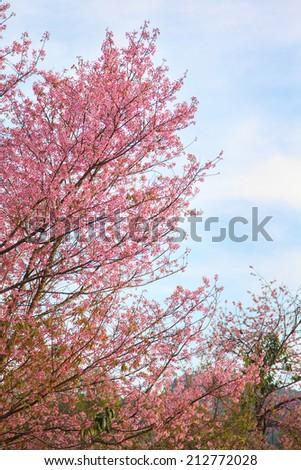 Pink sakura tree - stock photo