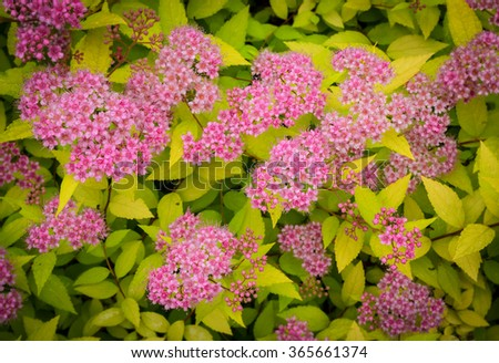 pink small flowers on the bush - stock photo